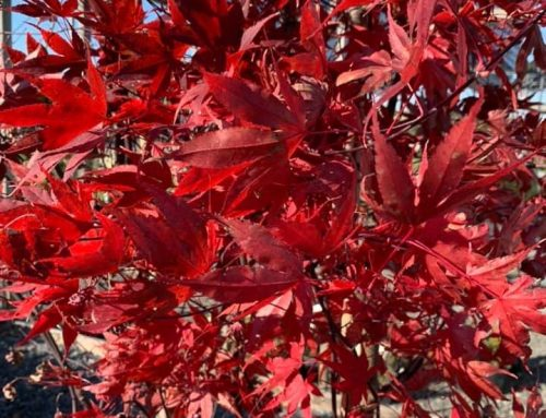 Bloodgood Japanese Maple Tree – Outdoor Living Tip of the Day