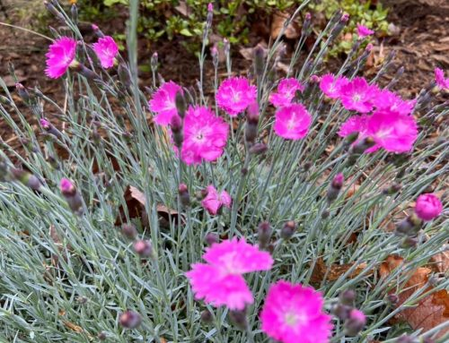 Firewitch Dianthus – Outdoor Living Tip of the Day